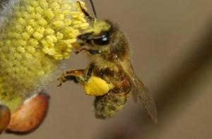 گرده گل روی پای زنبور عسل