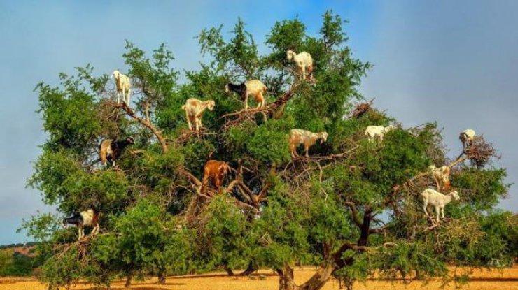 بزها روی درخت آرگان