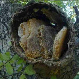 عسل درختی