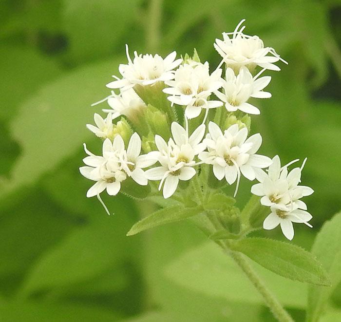 گل استویا